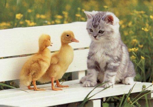 http://www.lafferty.ca/files/stuff/images/cats/Kitten-Ducks.jpg